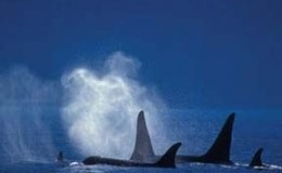 The_Broughtons_Orcas
